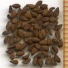 Phacelia nemoralis seeds