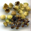 Plectritis congesta seeds