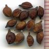 Potamogeton amplifolius seeds