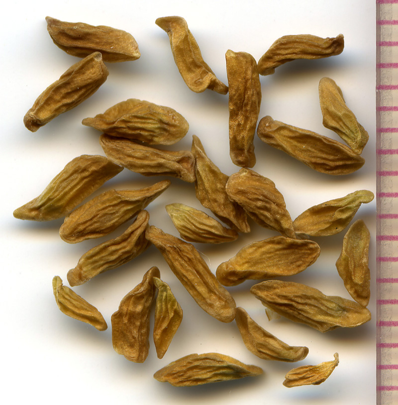 Toxicoscordion venenosum seeds