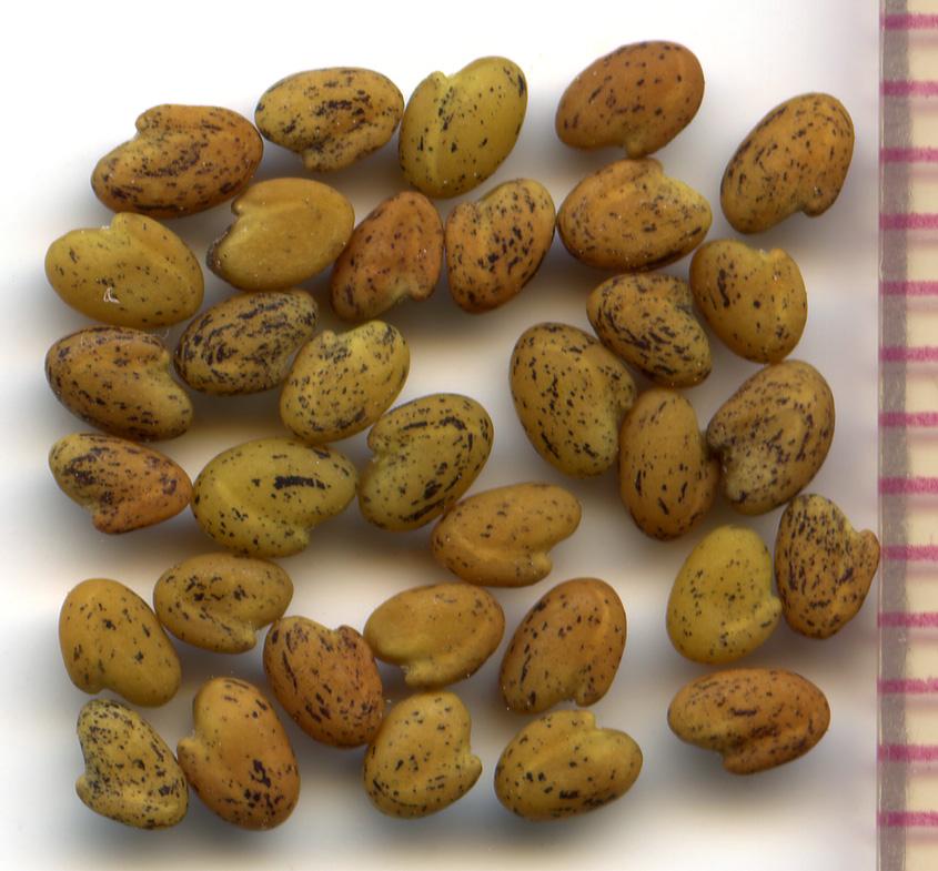 Trifolium kingii seeds