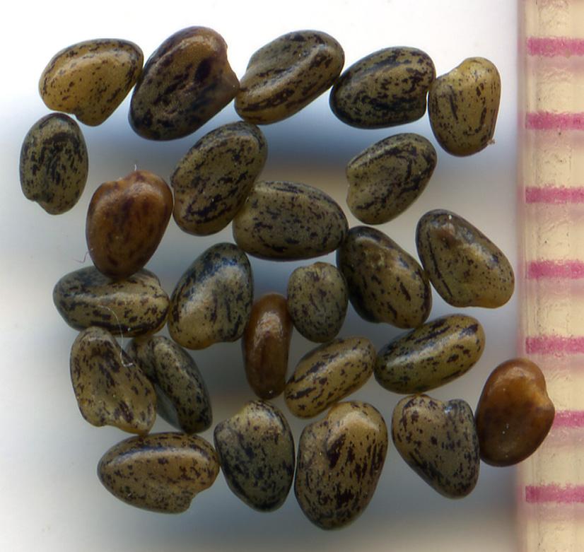 Trifolium variegatum seeds