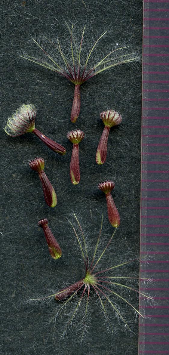 Valeriana scouleri seeds