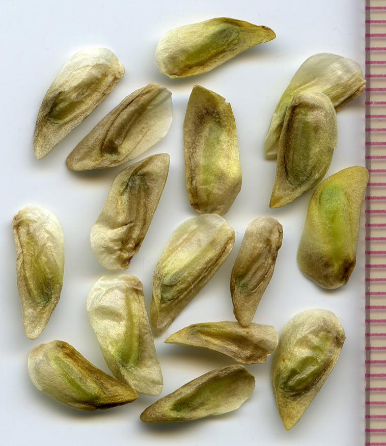 Veratrum californicum seeds