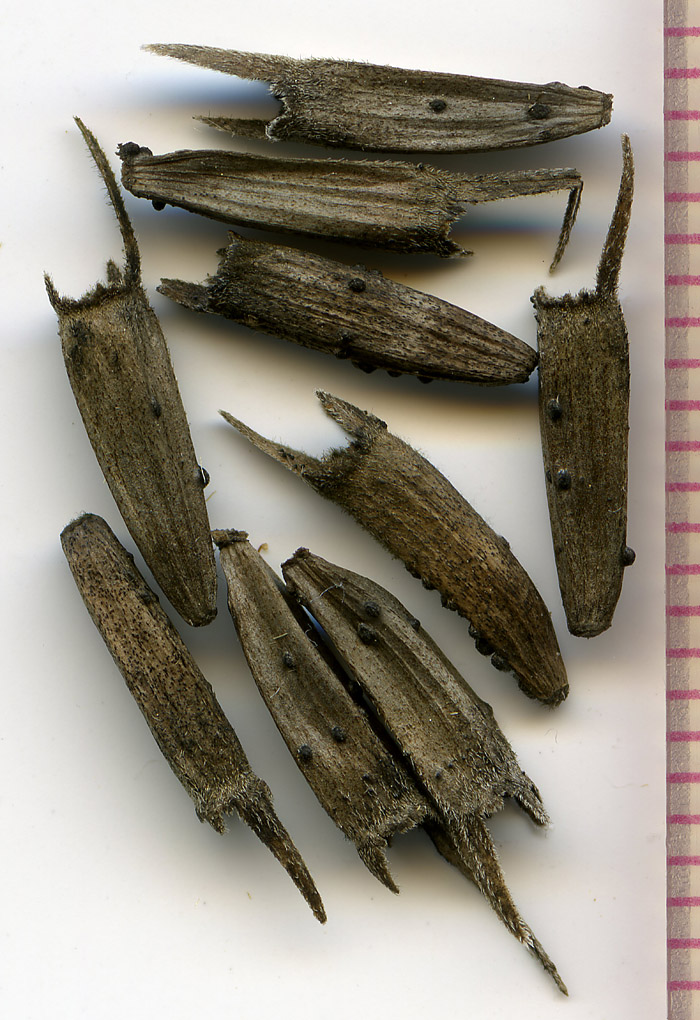 Wyethia angustifolia seeds