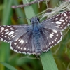 common checkered skipper 5-27-12