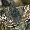 common checkered skipper 4-24-04