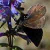 persius duskywing 7-5-03