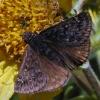 propertius duskywing 5-19-03
