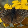 propertius duskywing 4-24-04