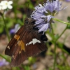 silver-spotted skipper 6-25-09