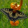 anise swallowtail 7-20-08