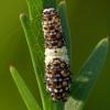 anise swallowtail caterpillar 8-11-17