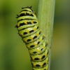anise swallowtail caterpillar 8-2-13