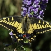 anise swallowtail 8-10-09