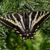 pale swallowtail 7-6-08