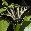 pale swallowtail 6-23-05