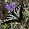 pale swallowtail 6-11-18