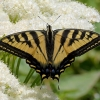 tiger swallowtail 7-3-17