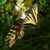 tiger swallowtails 7-23-16
