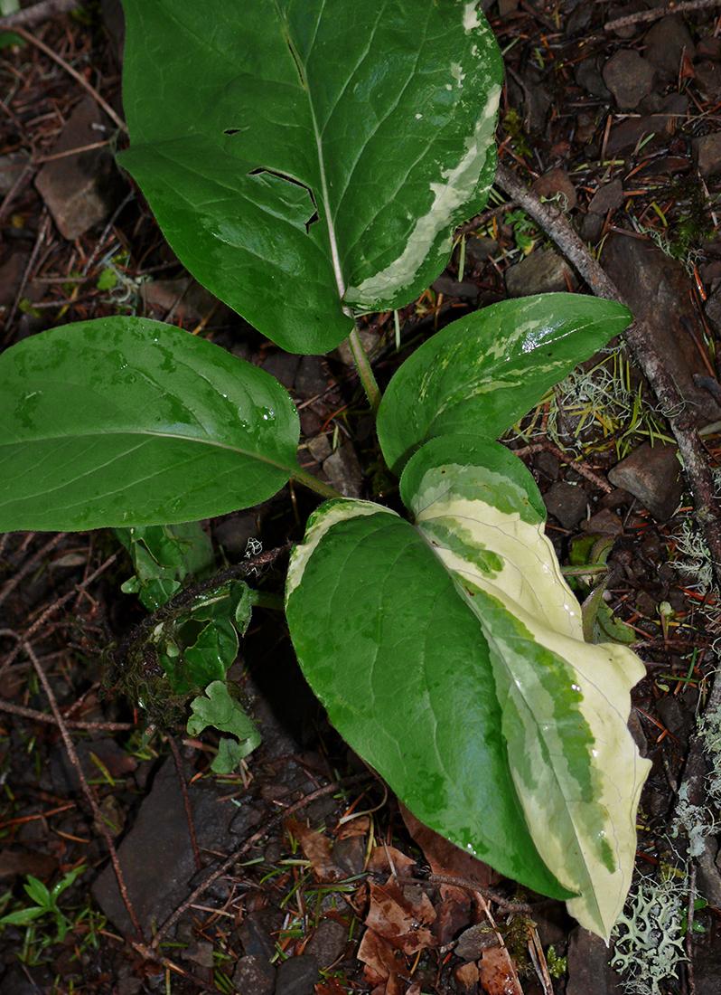 Adelinia grandis 5-24-10