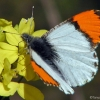 Julia's orangetip 4-27-03