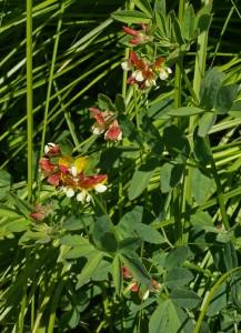 Lotus oblongifolius