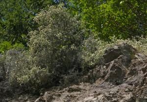 Ceanothus cuneatus