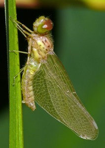 newly emerged dragonfly