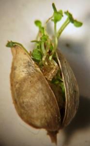 Castilleja seedlings