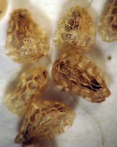 Castilleja seeds