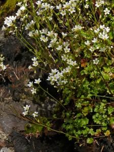 Romazoffia californica