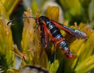 Syanthedon moth