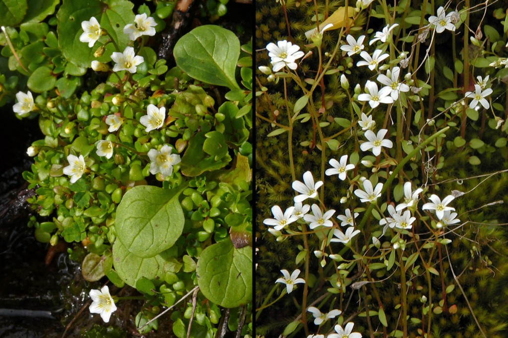 Romanzoffia thompsonii & Cascadia nuttallii flowers
