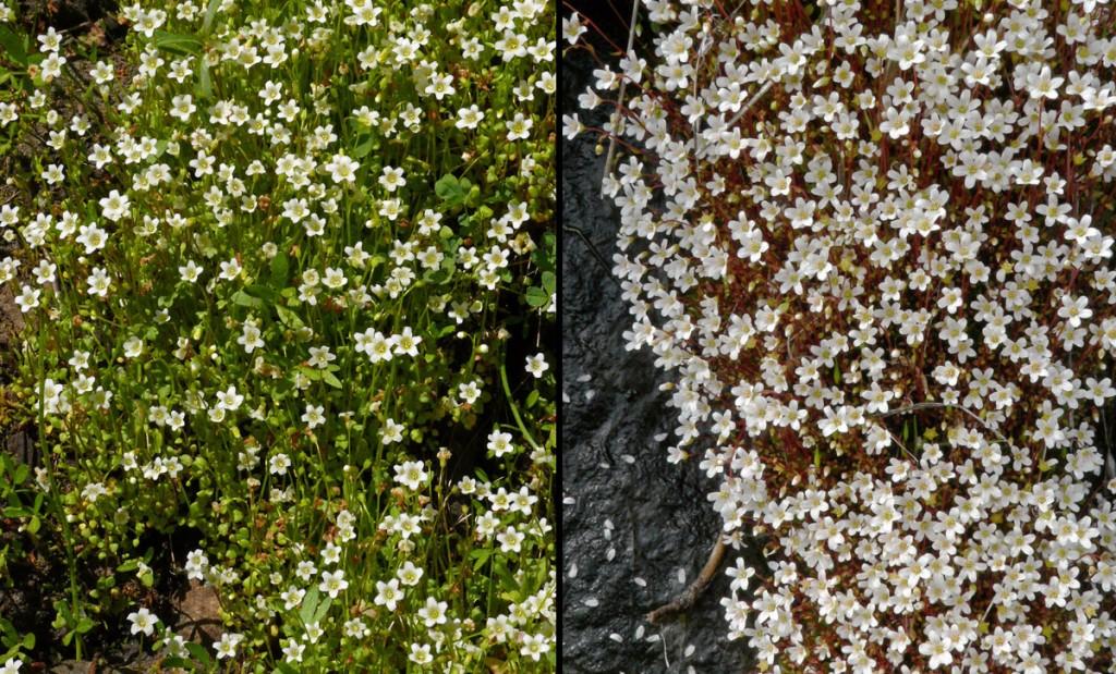 Romanzoffia thompsonii & Cascadia nuttallii
