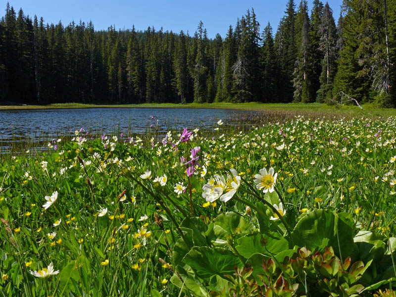 Mountain plants of the western cascades cache meadows for The meado