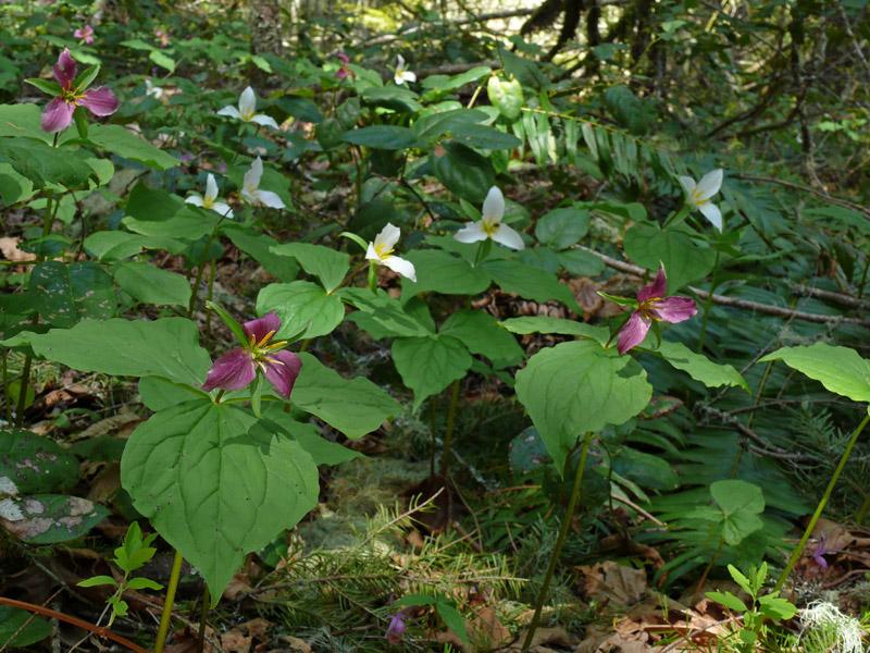 Trillium Ovatum Sale The Masses of Western Trillium Trillium Ovatum Were Fading to a Beautiful