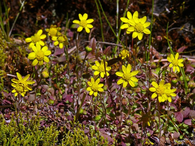 What a joy it is to see gold stars (Crocidium multicaule), one of the very first flowers of the spring.