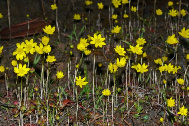 At the end of the day, after several hours in the shade, the flower heads of gold stars begin to close up.