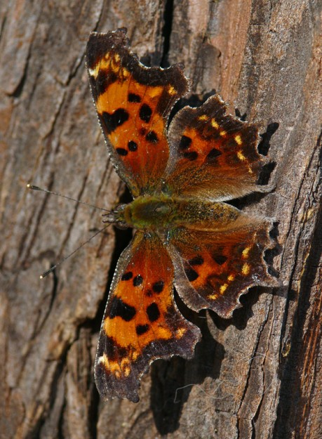 A stunningly beautiful green comma (Polygonia faunus), warming up in the afternoon sun.