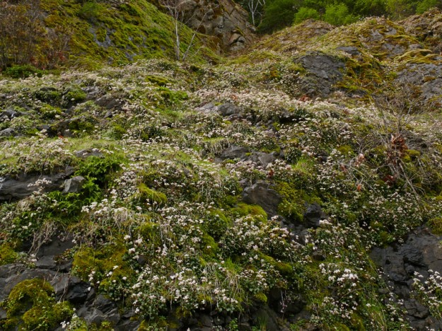 Looking up the cliffs at rustyhair saxifrage (Micranthes rufidula) blooming in profusion