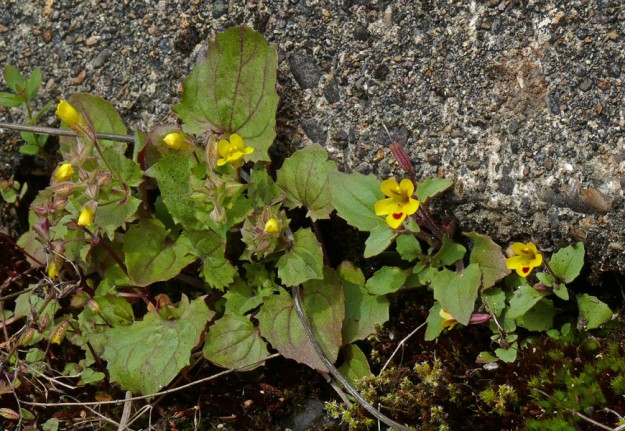 On the right is chickweed monkeyflower (Mimulus alsinoides). On the left is the unusual small-flowered monkeyflower. It will grow much taller than it is here.