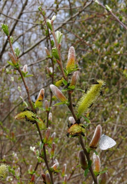 Early in the season, willows like this Salix sitchensis are a great source of nectar for insects.