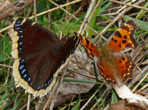 A mourning cloak and a green comma sharing a meal on some littered toilet paper—how romantic!