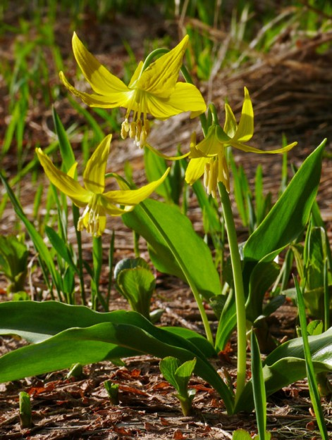 Fresh glacier lilies (Erythronium grandiflorum) glowing in the setting sun