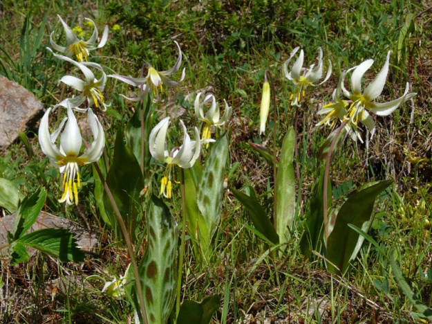 Fresh fawn lilies (Erythronium oregonum) blooming in the burned area.