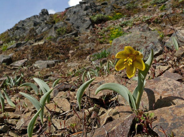 Fritillaria glauca happily grows en masse in the loose rock of a steep slope.