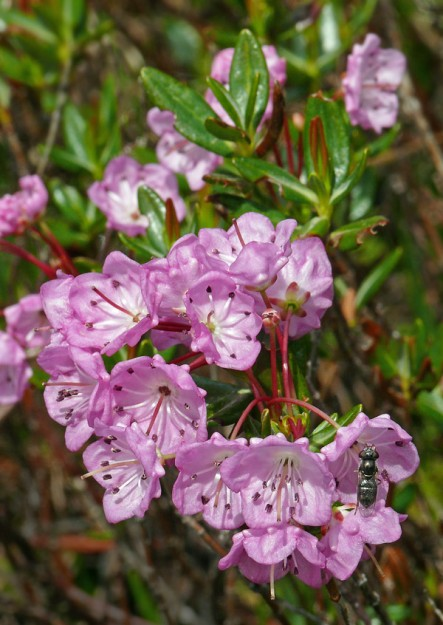 The stamens of alpine laurel are tucked into little depression in the corolla until an insect comes along to spring them.