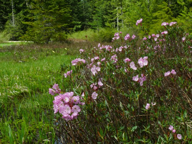 Alpine laurel blooming in the Lone Wolf Meadow