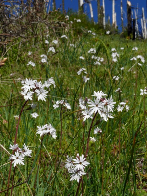 small-flowered prairie star blooming abundantly in the large meadow